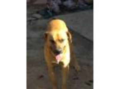 Adopt Chubby a Brown/Chocolate - with White Shepherd (Unknown Type) / Boxer dog