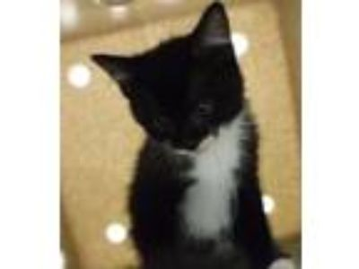 Adopt Triscuit a Domestic Mediumhair / Mixed cat in Silverdale, WA (25289375)