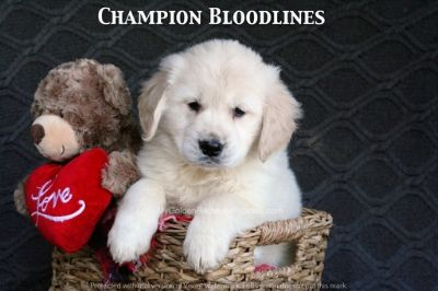 Golden Retriever PUPPY FOR SALE ADN-61907 - Adorable AKC Champion Bloodline Puppies