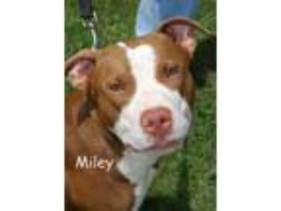 Adopt Miley a Pit Bull Terrier