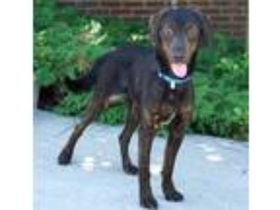 Adopt River a Plott Hound