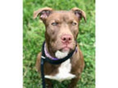 Adopt RUTH a Brown/Chocolate - with White American Pit Bull Terrier / Labrador