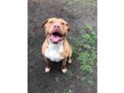 Adopt Edna a Tan/Yellow/Fawn - with White Pit Bull Terrier / Mixed Breed (Large)