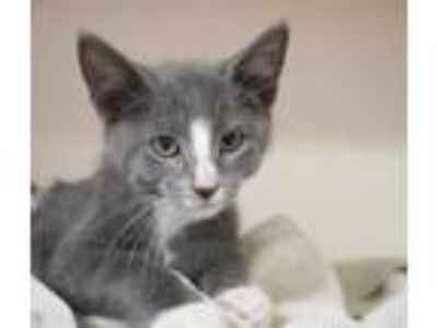 Adopt Apollo is the god of love! a Russian Blue, Turkish Van