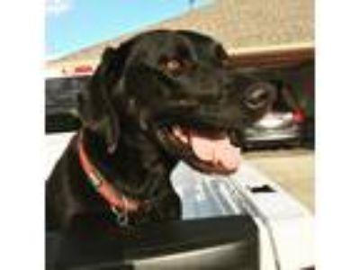 Adopt Charlie a Black Labrador Retriever / Rottweiler dog in Moore