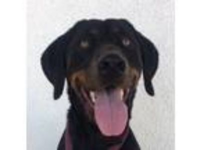Adopt Shadow a Black - with Tan, Yellow or Fawn Doberman Pinscher / Labrador