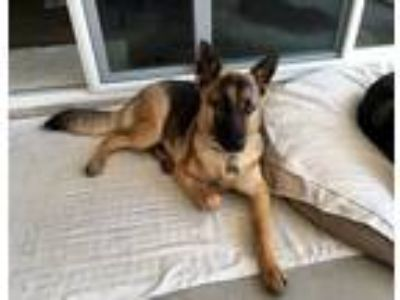 Adopt Sweet Pea a German Shepherd Dog / Mixed dog in Downey, CA (18298773)