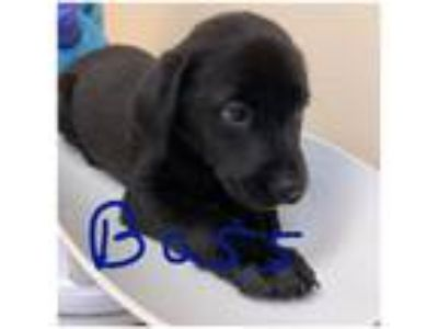 Adopt Bass (Ocean's 13) a Black Labrador Retriever / Mixed dog in Cumming