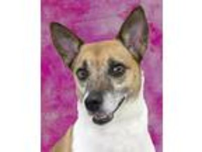 Adopt Gigi a Tan/Yellow/Fawn - with White Jack Russell Terrier / Mixed dog in