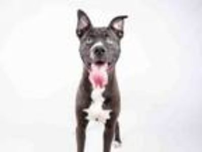 Adopt CHEETO a Pit Bull Terrier, Boxer