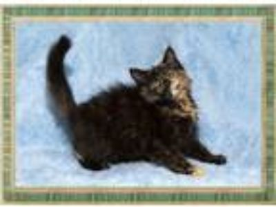Adopt Hazel a Domestic Medium Hair, Tortoiseshell