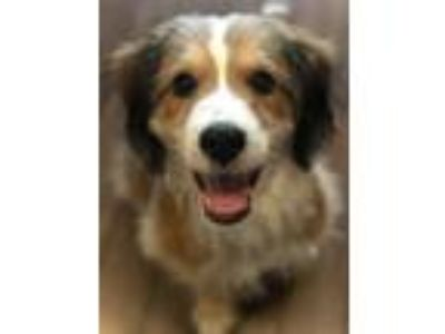Adopt Rufus a Tricolor (Tan/Brown & Black & White) Bernese Mountain Dog / Poodle
