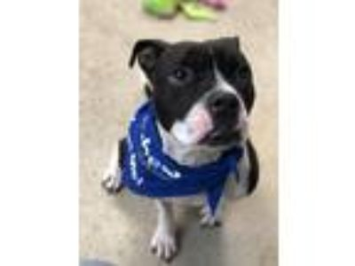 Adopt Millie a Boxer / Mixed dog in Madison, NJ (25196321)