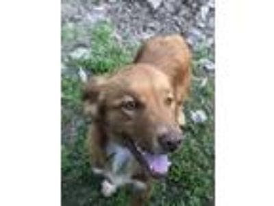 Adopt Crazy Eye a Tan/Yellow/Fawn - with White Labrador Retriever dog in Selma