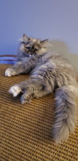 CFA Registered Blue Cream Smoke Female Persian Kitten