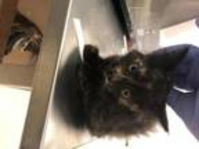 Adopt Mars a All Black Domestic Shorthair / Mixed cat in Oakland, CA (25869893)
