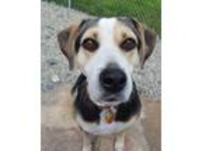 Adopt Butterfly McQueen a Tricolor (Tan/Brown & Black & White) Hound (Unknown