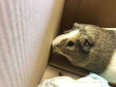 Adopt BART* a Black Guinea Pig / Mixed small animal in Garland, TX (25826396)