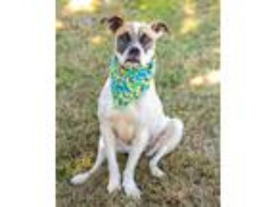 Adopt Polly Pocket a White - with Brown or Chocolate Boxer / Mixed dog in