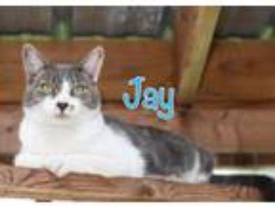 Adopt Jay a Domestic Short Hair