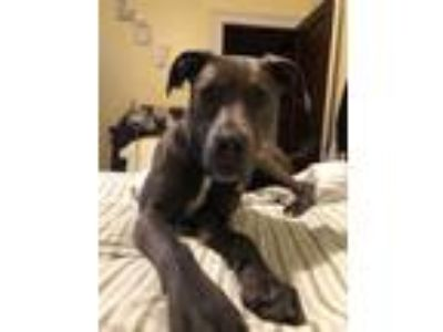 Adopt Bella a Gray/Silver/Salt & Pepper - with White American Pit Bull Terrier /