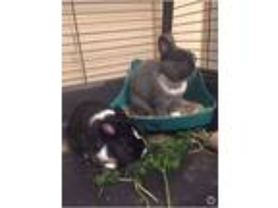 Adopt Angel & Buddy a Dwarf, Bunny Rabbit