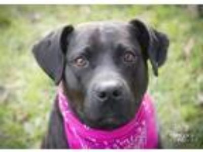 Adopt Layla a Black - with White Boxer / American Pit Bull Terrier / Mixed dog