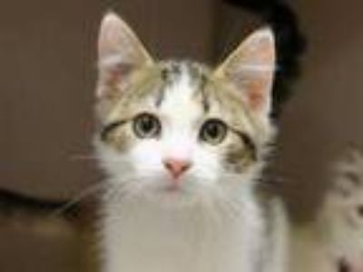 Adopt FRANKIE J a Brown Tabby Domestic Mediumhair / Mixed (medium coat) cat in