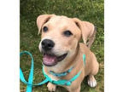 Adopt Cream - local gal a Yellow Labrador Retriever, Retriever