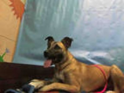 Adopt LUCY a Brown/Chocolate - with White German Shepherd Dog / Mixed dog in