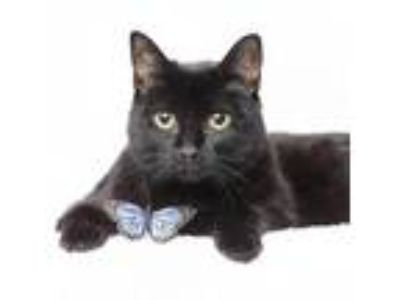 Adopt Queen Beset a Domestic Short Hair
