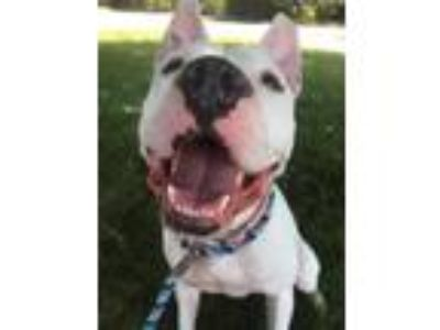 Adopt Whistle a White American Pit Bull Terrier / Mixed dog in Valley View