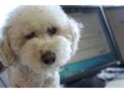 Adopt Flynn a White Bichon Frise / Mixed dog in Albany, OR (25150973)