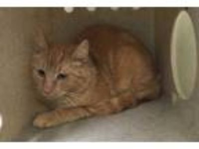 Adopt *BUSTER a Orange or Red Domestic Shorthair / Mixed (short coat) cat in