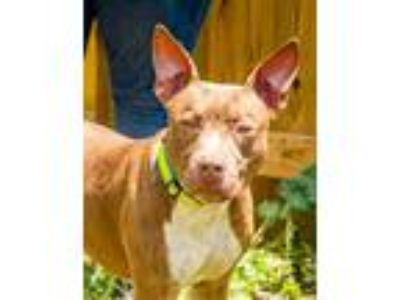 Adopt Batman a Tan/Yellow/Fawn - with White American Pit Bull Terrier / Mixed