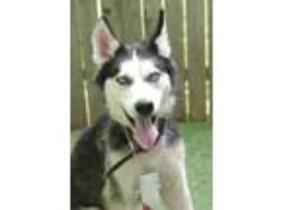 Adopt 41965323 - Available 6/25 a Siberian Husky