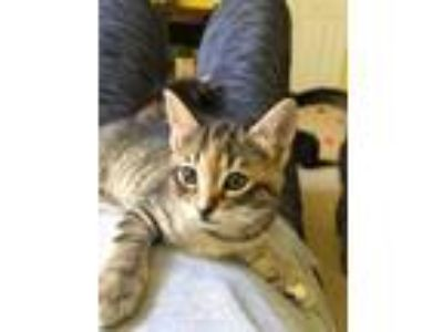 Adopt Casey a Gray, Blue or Silver Tabby Domestic Shorthair (short coat) cat in