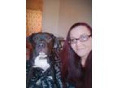 Adopt Stout a Black American Pit Bull Terrier / Labrador Retriever dog in