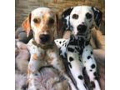 Adopt Max and Becky a Black - with White Dalmatian / Dalmatian dog in Golden