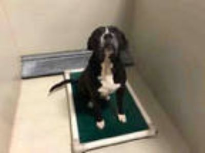 Adopt *NORMAN a Black - with White Boxer / American Pit Bull Terrier / Mixed dog