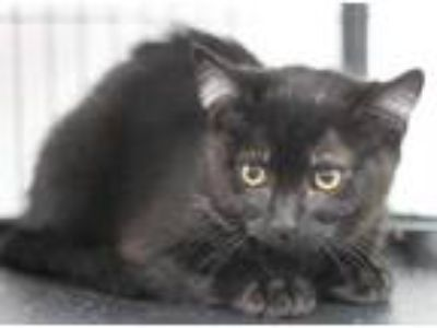 Adopt Jimmy a All Black Domestic Shorthair / Domestic Shorthair / Mixed cat in
