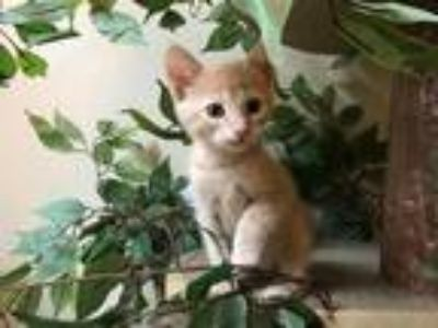 Adopt Cheesecake a Tan or Fawn Domestic Shorthair (short coat) cat in
