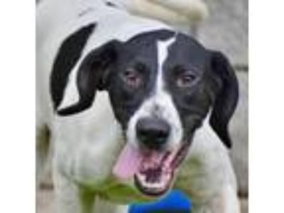 Adopt Hennessy a Pointer