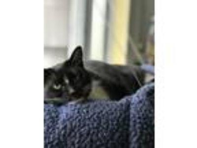 Adopt Mishka a Black & White or Tuxedo Domestic Mediumhair / Mixed cat in Lake