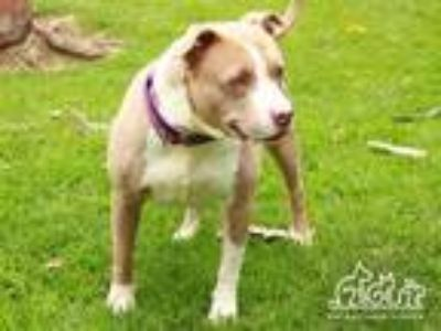 Adopt CANDY a Brown/Chocolate - with White American Pit Bull Terrier / Mixed dog