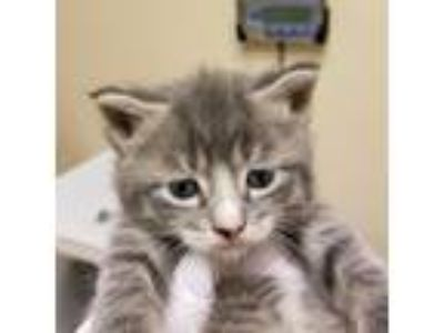 Adopt Hyde a Gray or Blue Domestic Shorthair / Domestic Shorthair / Mixed cat in