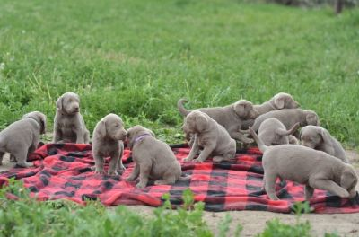 Labrador Retriever PUPPY FOR SALE ADN-78838 - Silver lab puppies