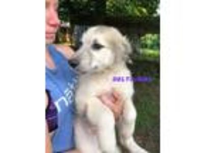Adopt Delta a Great Pyrenees
