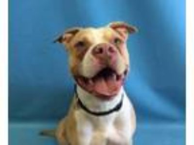 Adopt Basil a Pit Bull Terrier, Mixed Breed