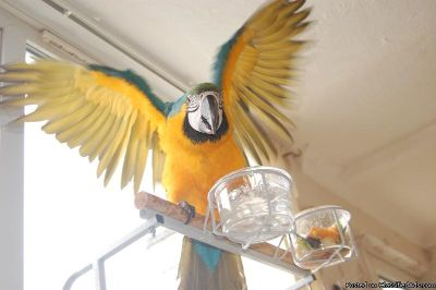 Sweetest baby female and male Blue x Gold Macaw Parrot